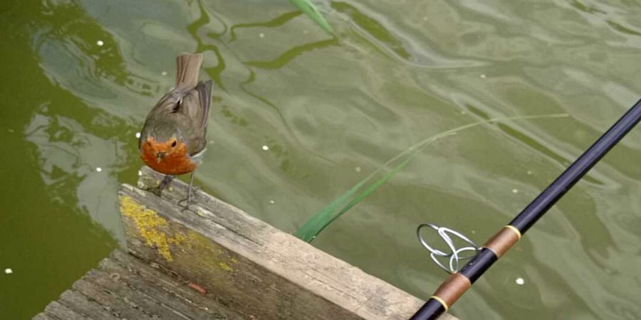 robin, bird, wildlife, fishing