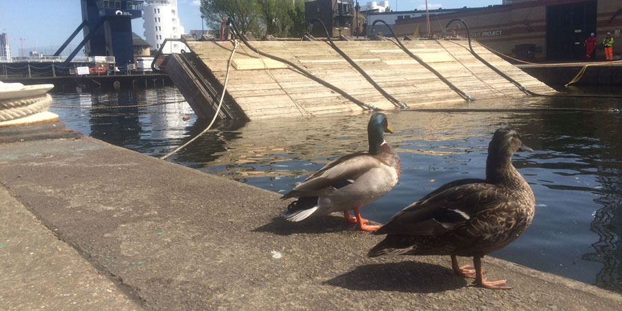 Ducks watching lock gates being floated into place