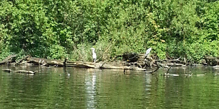 Herons on Titford Pool