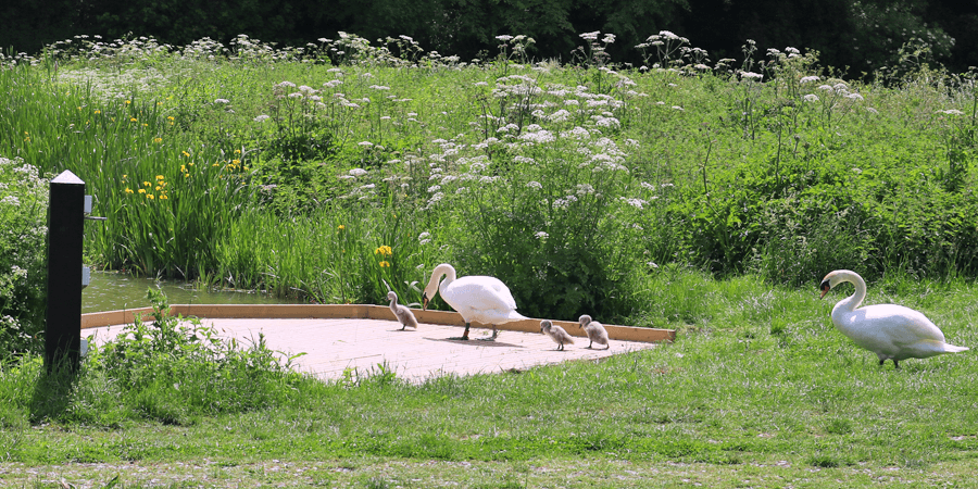 Swans at Caen Hill