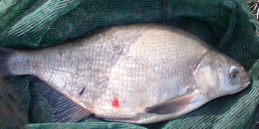 Bream in a net