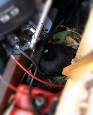 Coot nesting beside an outboard motor on a boat