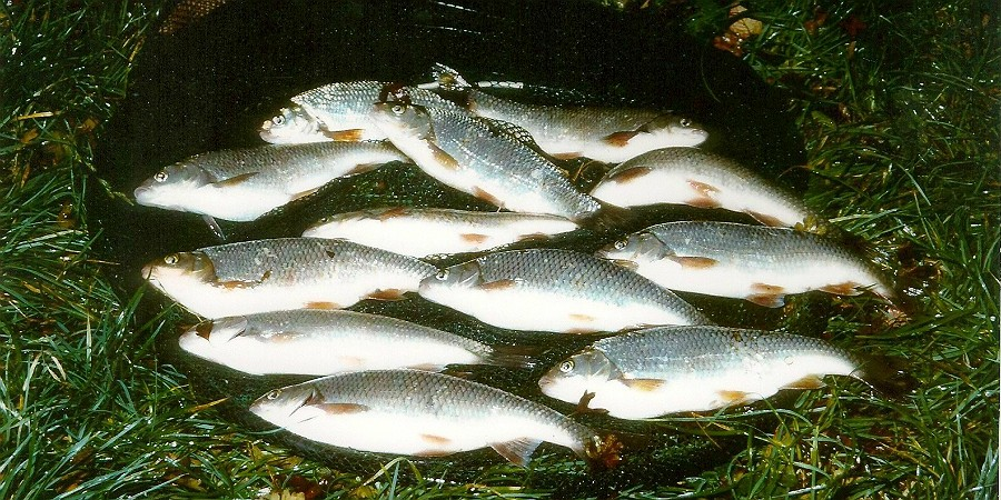 Haul of Dace