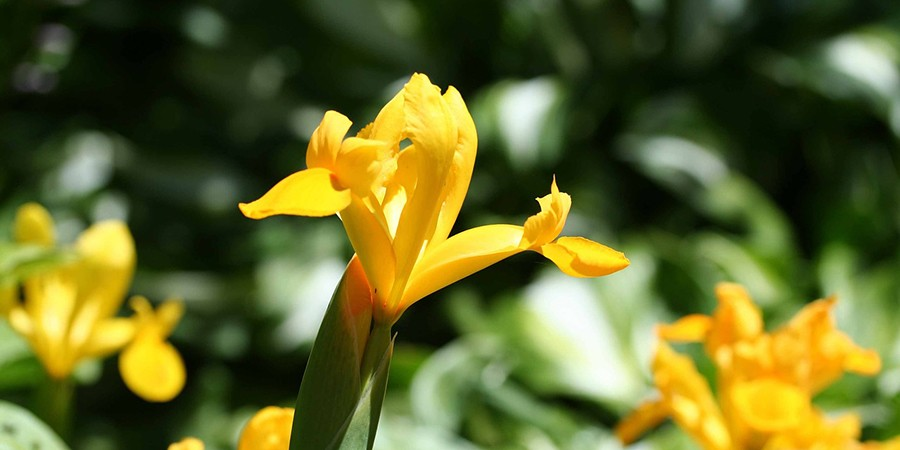 Yellow flag iris. By KitKestrel from Pixabay