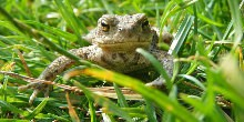 Common Toad lying in grass