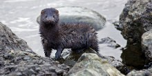 Mink leaving water through rocks