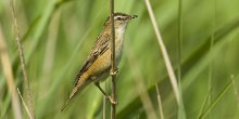 Reed warbler perched on reed