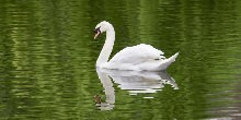 Swan on water with reflection