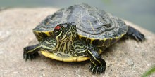 Terrapin sat on rock