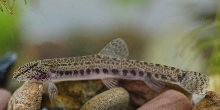 Spined loach, copyright Jack Perks