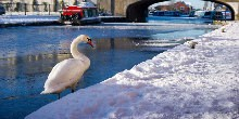 A swan in the snow