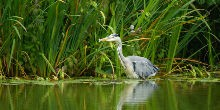 Grey Heron by the canal