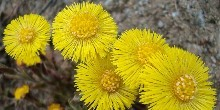 Coltsfoot courtesy of David J on Flickr