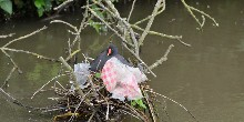 Moorhen nesting in plastic litter, credit Mark C Baker