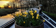 Daffodils on the Llangollen Canal
