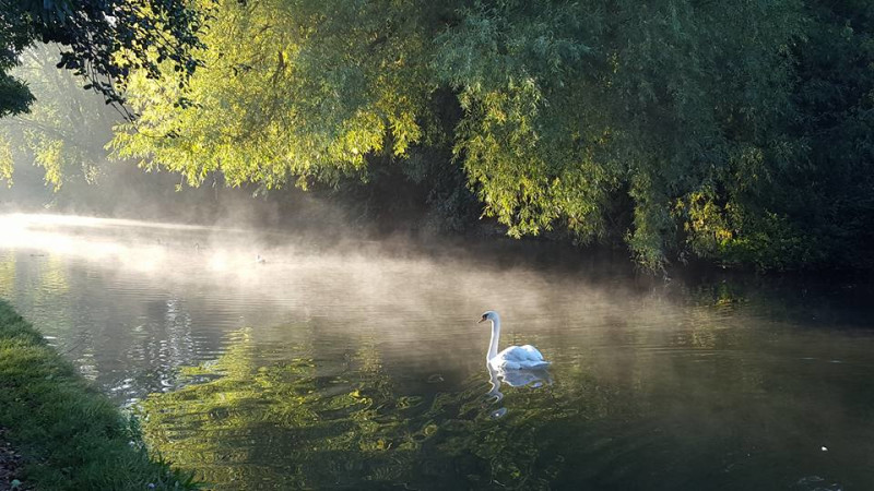 Misty swan, Grand Union. Cosgrove, MIlton keynes by Matt Richardson
